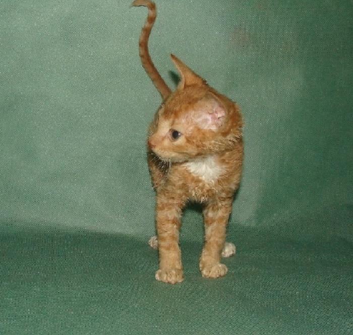 куплю котёнка
