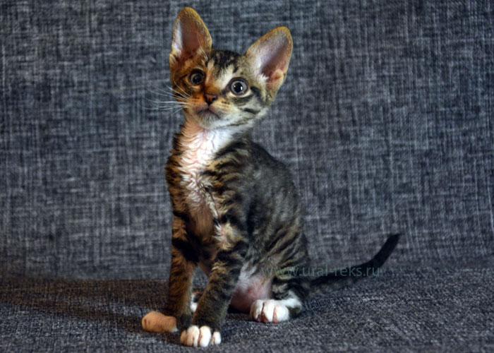 котята породистые недорого
