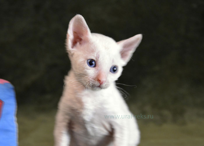уральский рекс котята