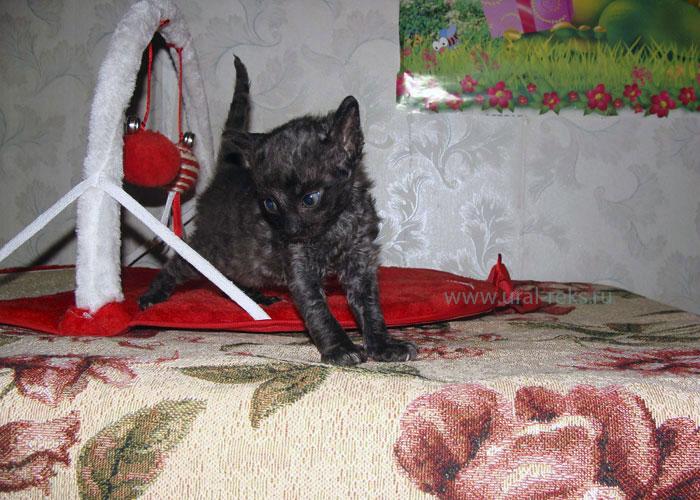уральский рекс кошка