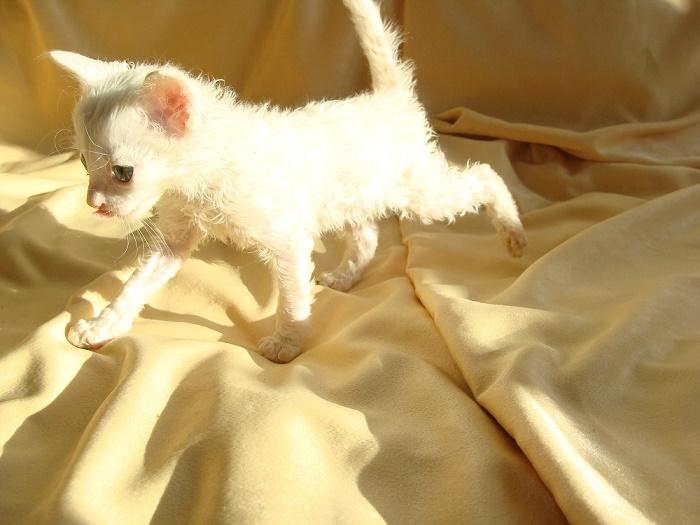 купить породистого котёнка в москве недорого