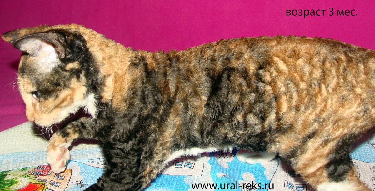 описание породы кошек уральский рекс