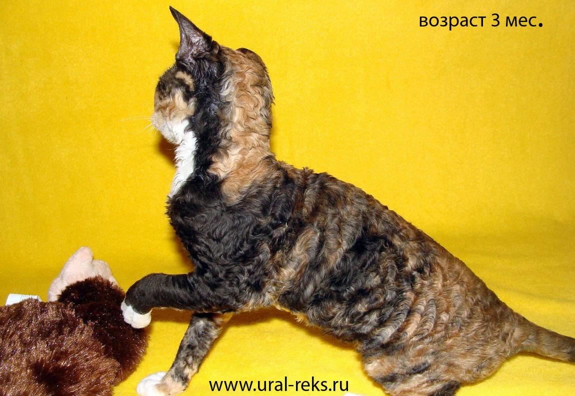 характер кошек  породы уральский рекс