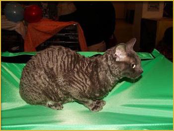 котенок москва купить