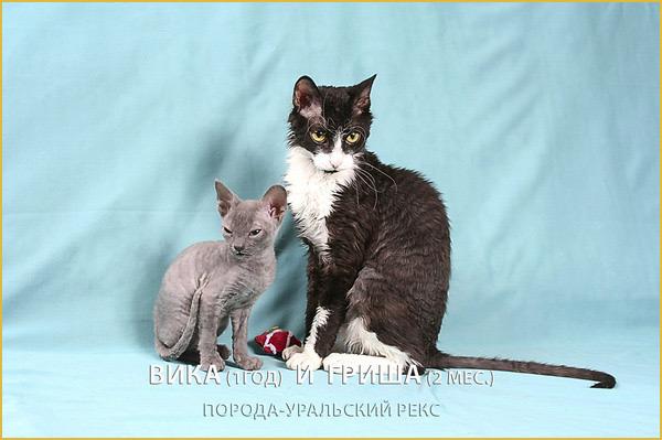 купить котёнка породы уральский рекс