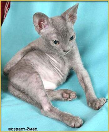 купить котёнка в питомнике кошек москва
