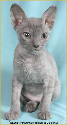 купить котёнка  уральский рекс
