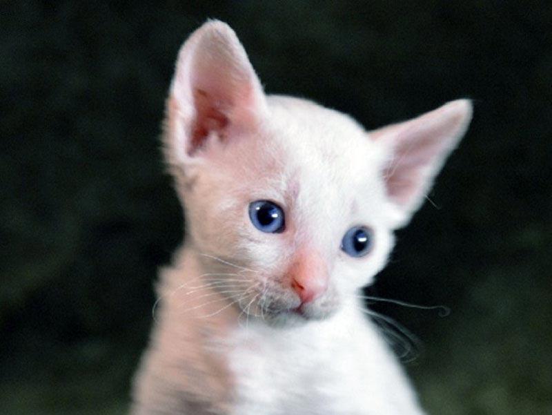 породы кошек белого окраса