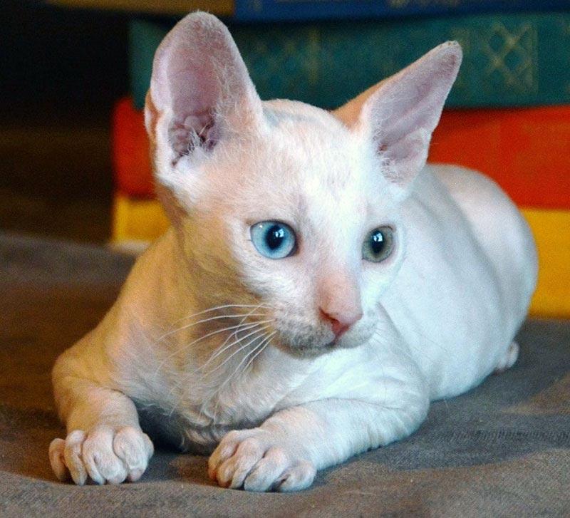породы кошек  белого цвета