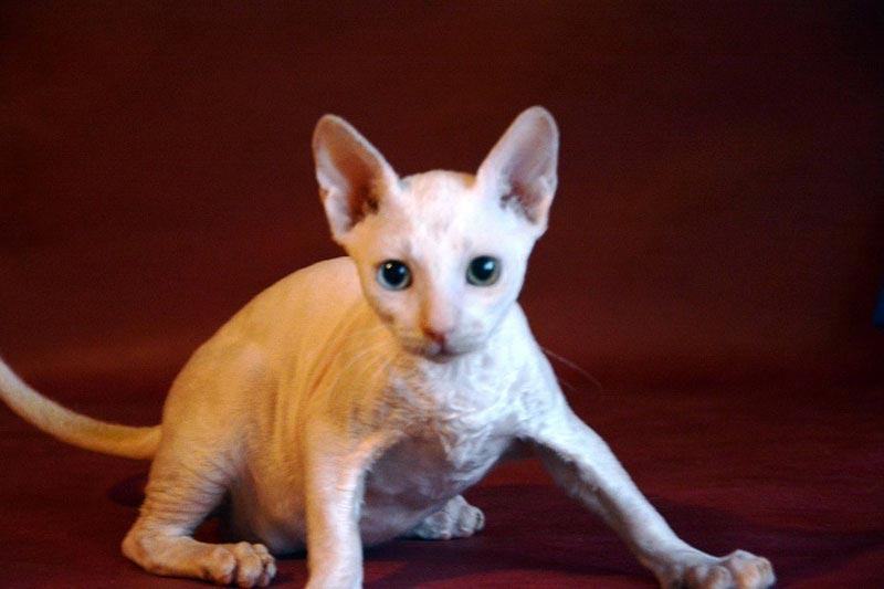 белые кошки фото порода