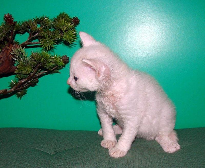 породы кошек с белой шерстью