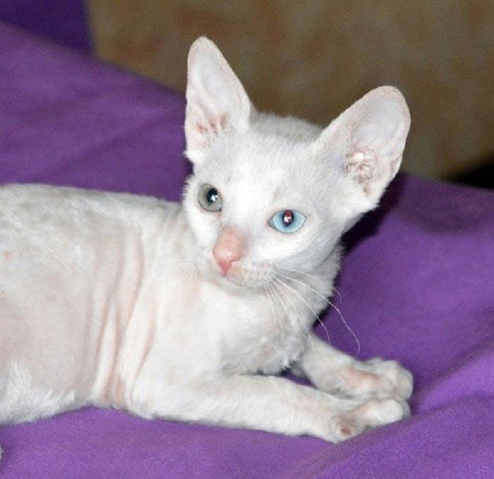 белая кошка порода название