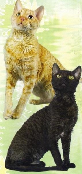 объявления о продаже котят Уральский рекс