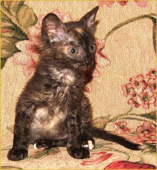 купить котёнка в московском питомнике кошек