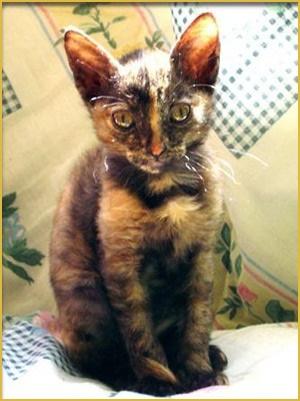 порода котят питомник
