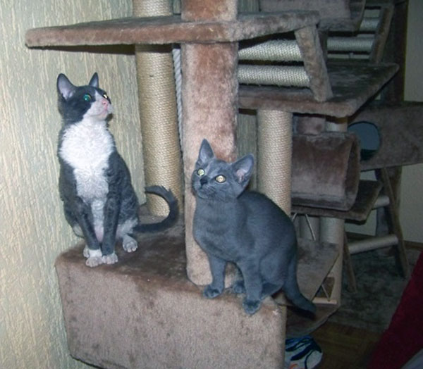самые лучшие кошки продажа