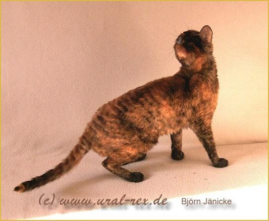 породы котят кошек купить продажа