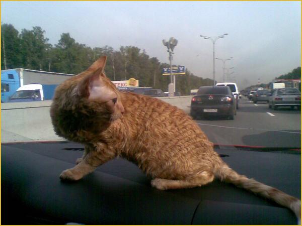котята породы уральский рекс