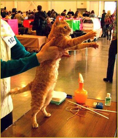 недорого купить кудрявую кошку