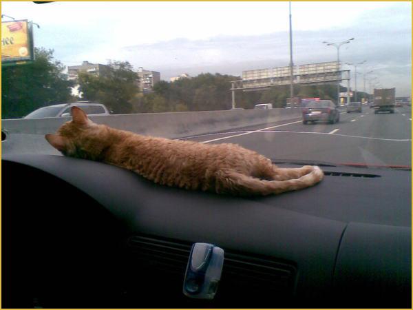 недорого продажа котят породы уральский рек