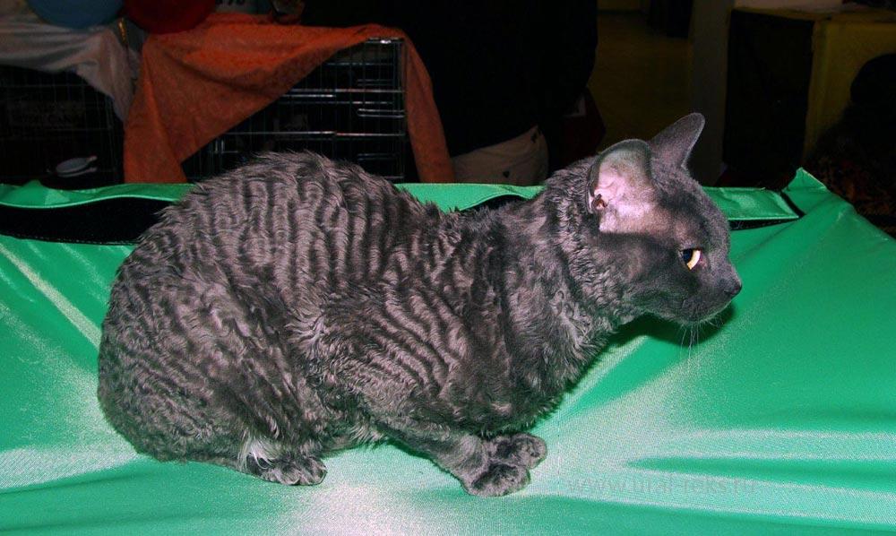 москва котёнок питомник