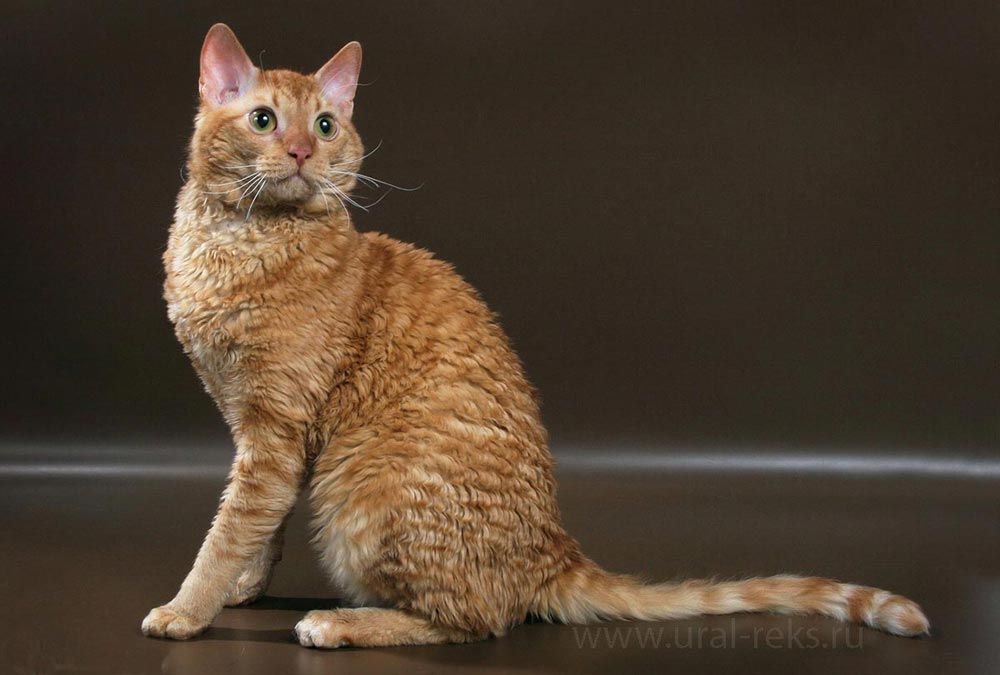 гипоаллергенная порода кошек уральский рекс
