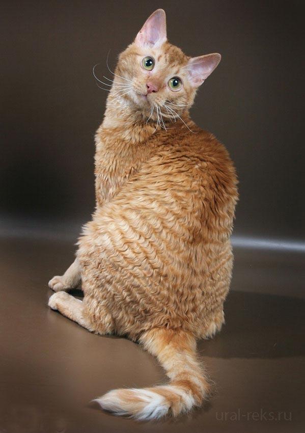 купить русскую кошку
