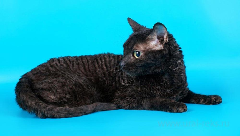 гипоаллергенная порода кошек