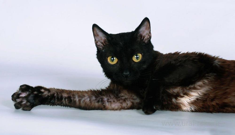 гипоаллергенная кошка для детей