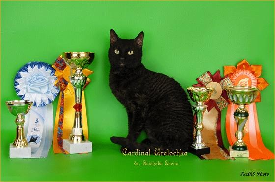 кот чёрного окраса породы кошек уральский рекс