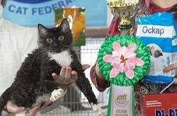уральский рекс чёрная кудрявая кошка