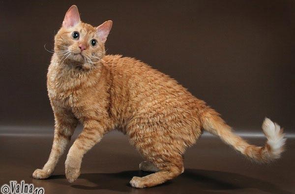 кошки фото описание