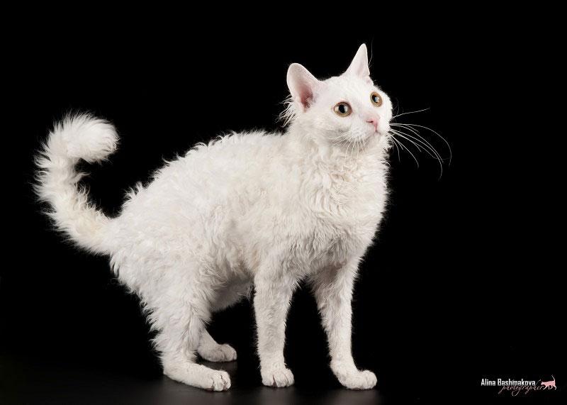 Породы кошек. Уральский рекс.Кот белого окраса.