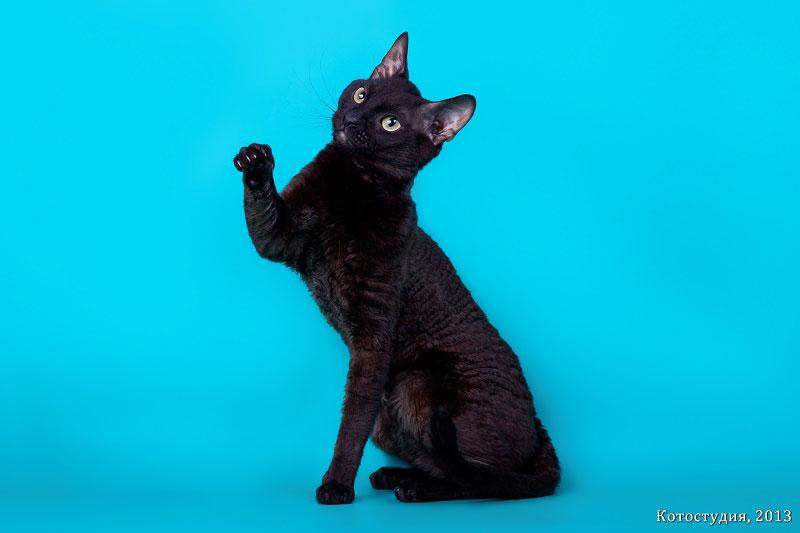 отзывы владельцев о кошках уральский рекс