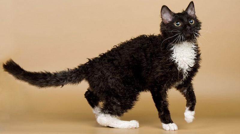 кот чёрно-белого окраса породы кошек уральский рекс