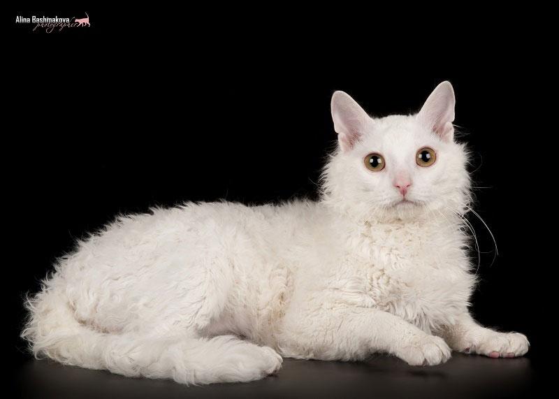 Кошки не линяют. Кошки в доме нет шерсти